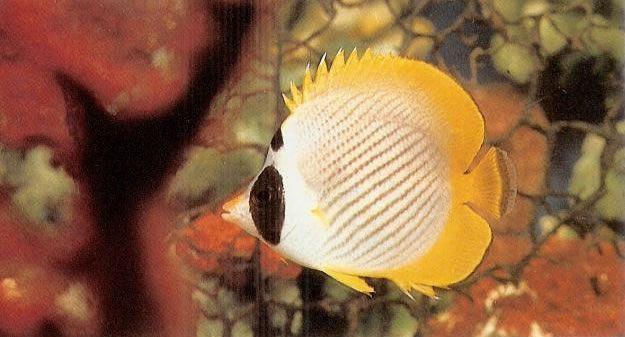 Panda butterflyfish.jpg
