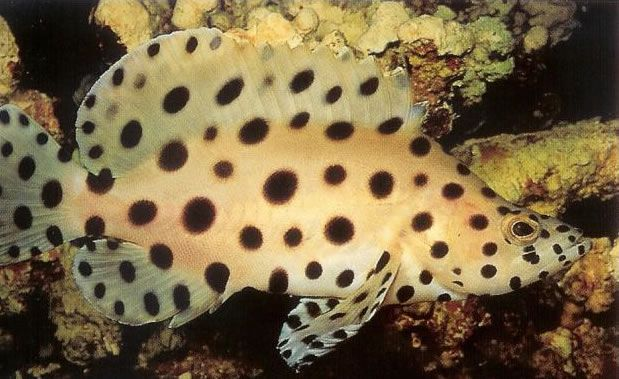 Panther grouper.jpg