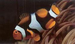 Pecula Anemonefish.jpg