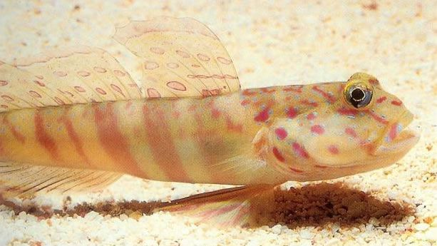 Pinkspotted shrimp goby.jpg