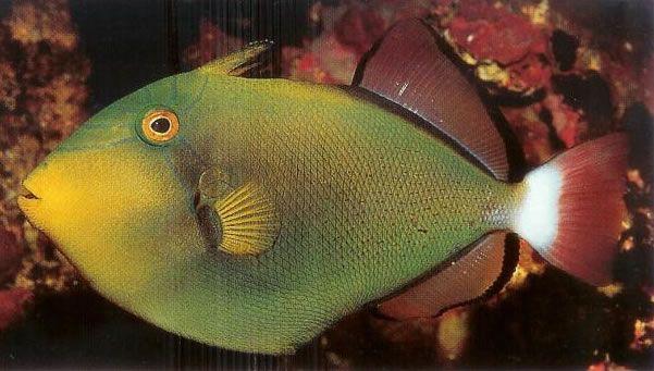 Pinktail Triggerfish.jpg