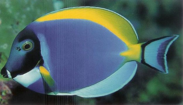 Powder blue surgeonfish.jpg