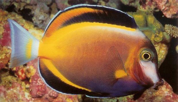Powder brown surgeonfish.jpg