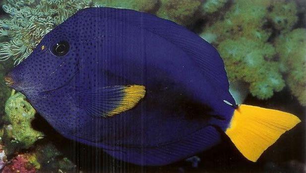 Purple tang.jpg
