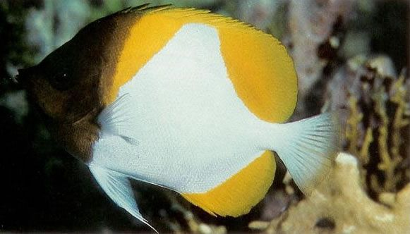 Pyramid butterflyfish.jpg
