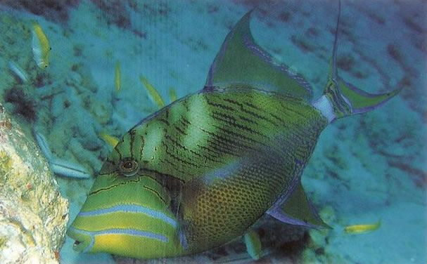 Queen Triggerfish.jpg