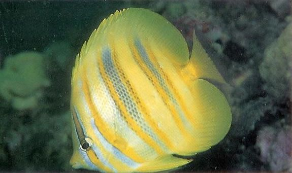 Rainfords butterflyfish.jpg