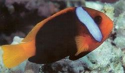 Red and Black Anemonefish.jpg