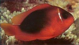 Red Saddleback Anemonefish.jpg