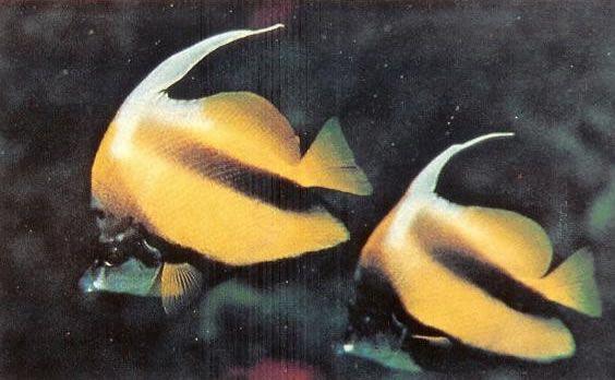 Red sea bannerfish.jpg