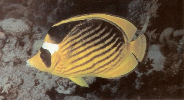 Red sea raccoon butterflyfish.jpg