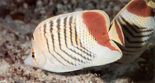 Redback butterflyfish.jpg