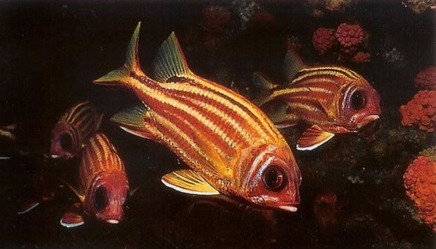 Redcoat squirrelfish.jpg