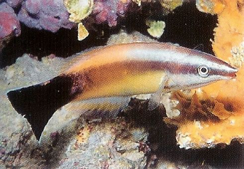 Redlipped Cleaner Wrasse.jpg