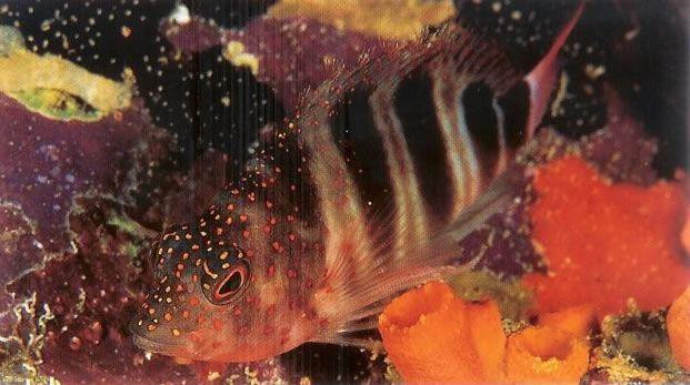 Redspotted hawkfish.jpg