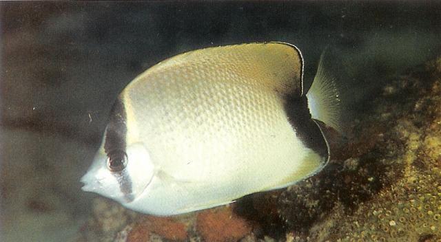 Reef butterflyfish.jpg