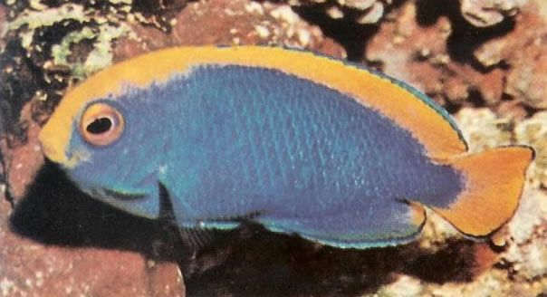Resplendent Pygmy Angelfish.jpg