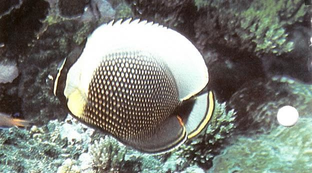 Reticulated butterflyfish.jpg