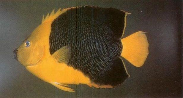 Rock Beauty Angelfish.jpg