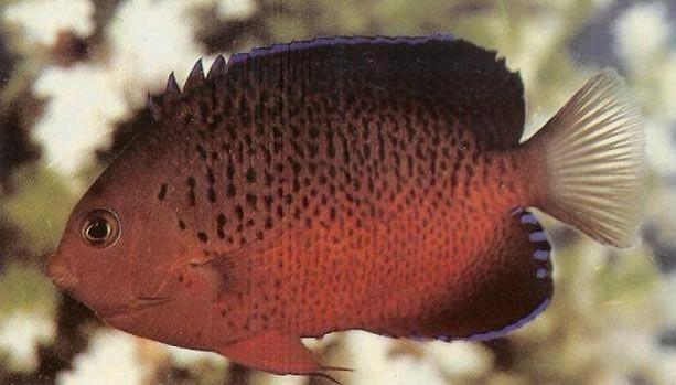 Rusty Angelfish.jpg