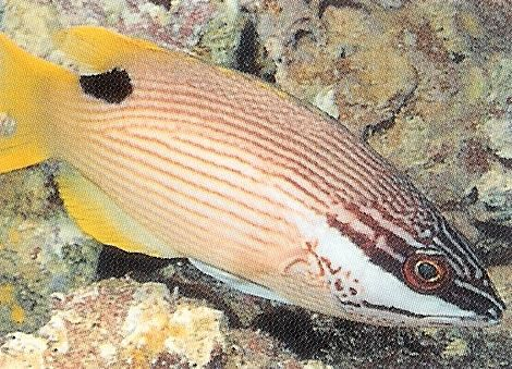 Saddleback Hogfish.jpg