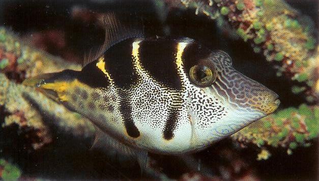 Saddled filefish.jpg
