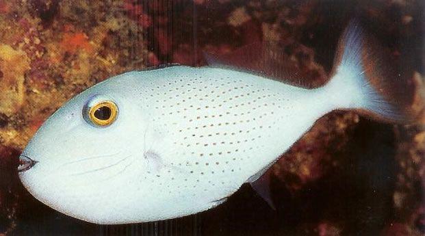 Sargassum Triggerfish.jpg