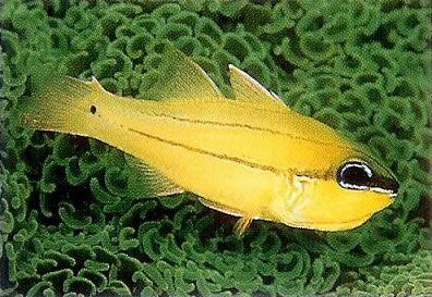 Seales cardinalfish.jpg