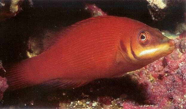 Secretive Wrasse.jpg