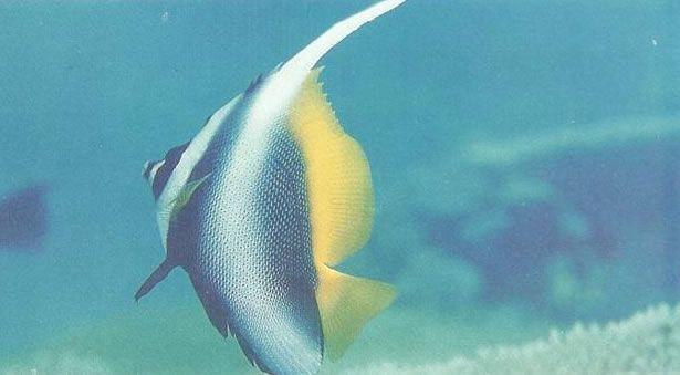 Singular bannerfish.jpg