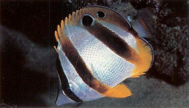 South african Butterflyfish.jpg