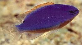South Seas Devil Damselfish.jpg