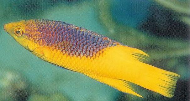 Spanish Hogfish.jpg
