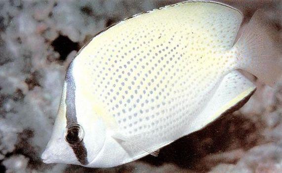 Speckled butterflyfish.jpg