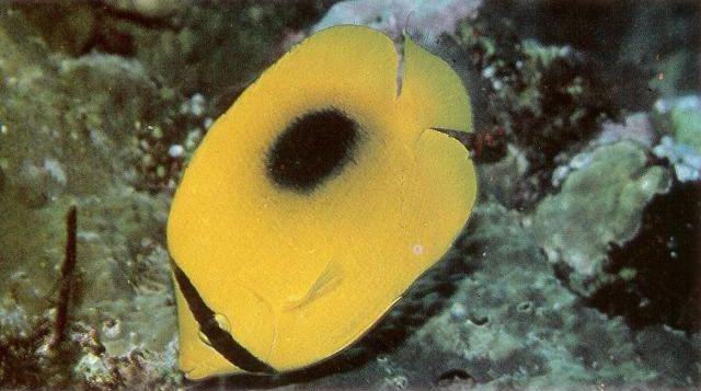 Speculum butterflyfish.jpg