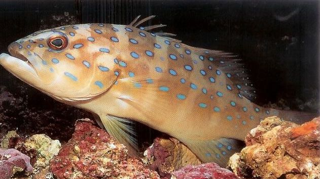 Spoted coral grouper.jpg
