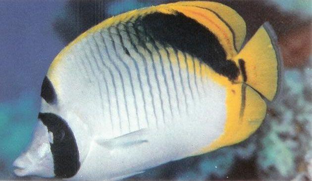 Spotnape butterflyfish.jpg