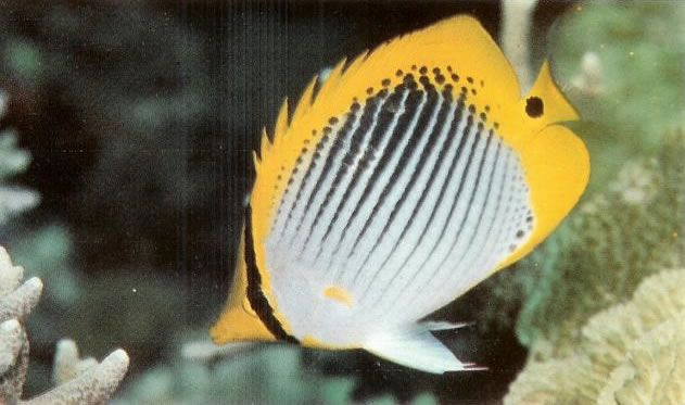 Spottail butterflyfish.jpg