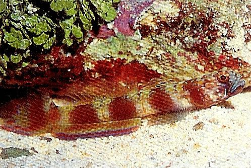 Spottail shrimp goby.jpg