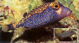 Spotted boxfish.jpg