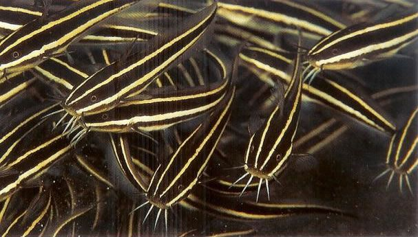 Striped eel catfish.jpg