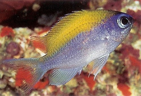 Sunshine Chromis.jpg