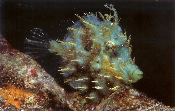 Tasseled filefish.jpg