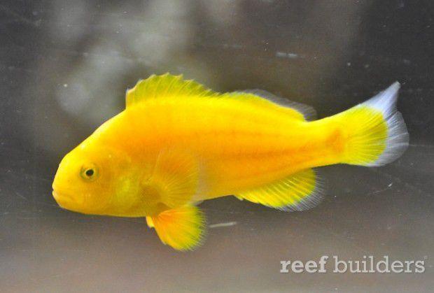 the-golden-clownfish1-620x419.jpg