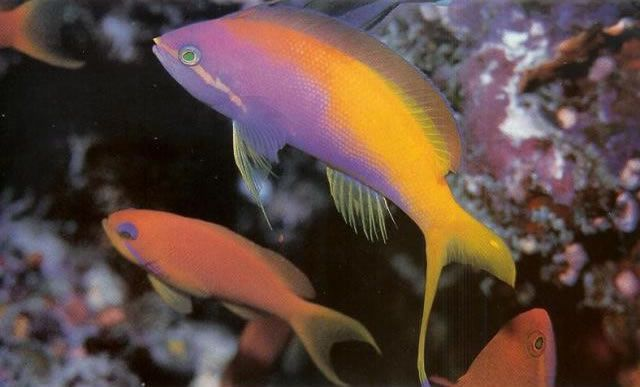 Threadfin Anthias.jpg