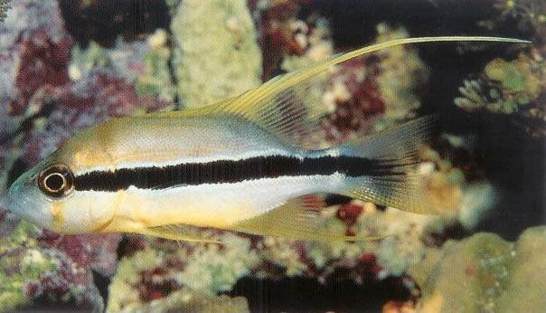 Threadfin snapper.jpg