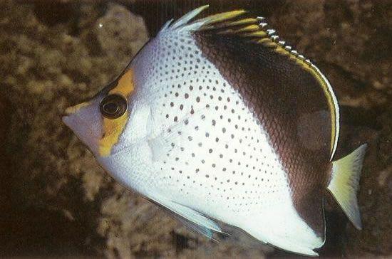 Tinkers butterflyfish.jpg