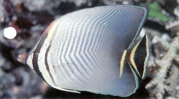 Triangular butterflyfish.jpg