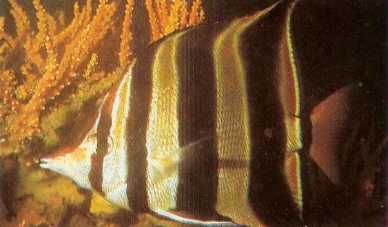 Truncate butterflyfish.jpg