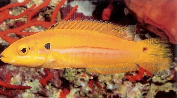 Twinspot Hogfish.jpg